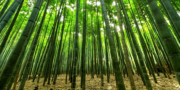 large bamboo forest